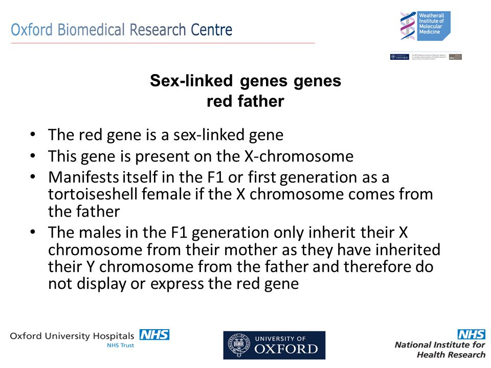 Sex-linked genes genes red father The red gene is a sex-linked gene This gene is present on the X-chromosome Manifests itself in the F1 or first generation as a tortoiseshell female if the X chromosome comes from the father The males in the F1 generation only inherit their X chromosome from their mother as they have inherited their Y chromosome from the father and therefore do not display or express the red gene