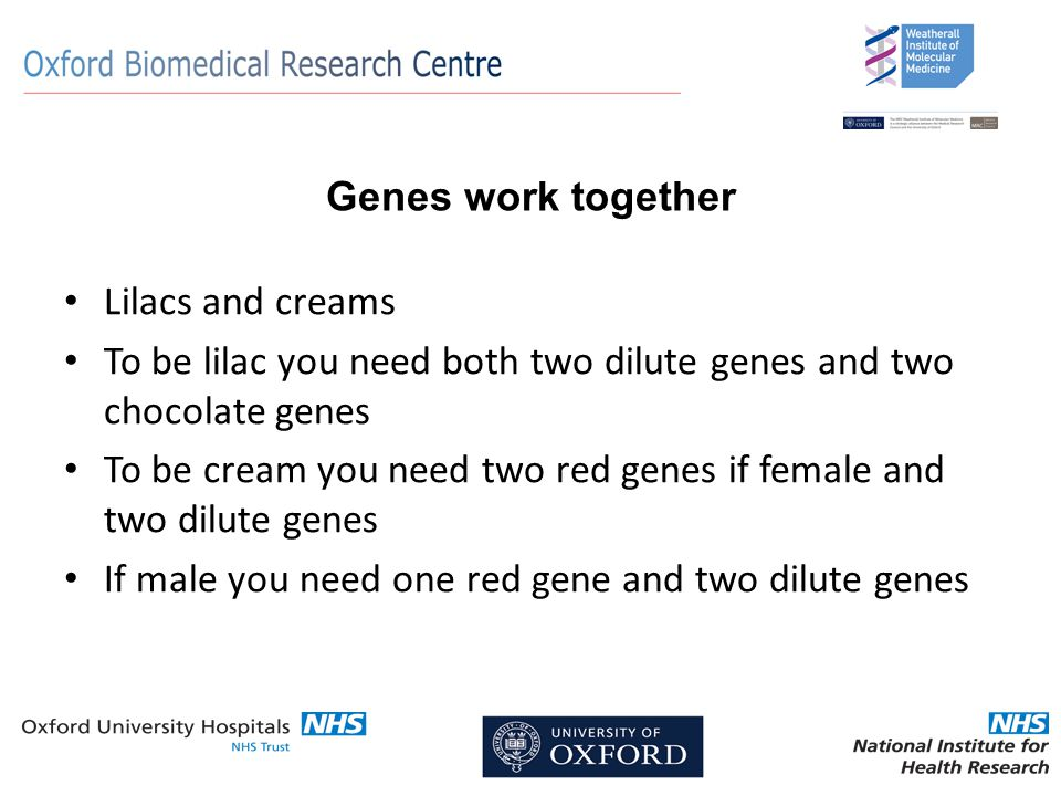 Genes work together Lilacs and creams To be lilac you need both two dilute genes and two chocolate genes To be cream you need two red genes if female and two dilute genes If male you need one red gene and two dilute genes