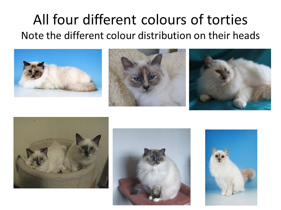 All four different colours of torties Note the different colour distribution on their heads