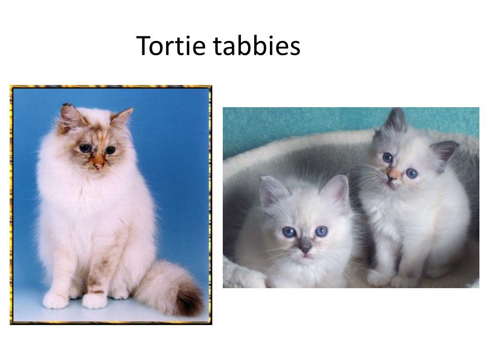 Tortie tabbies