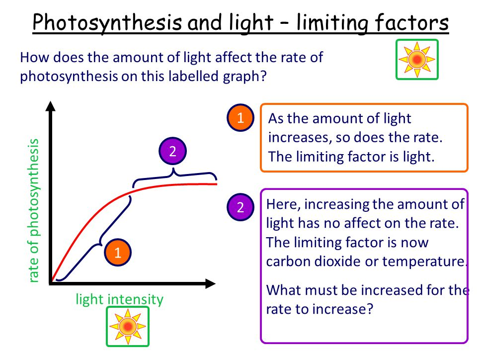 Photosynthesis and light – limiting factors How does the amount of light affect the rate of photosynthesis on this labelled graph.