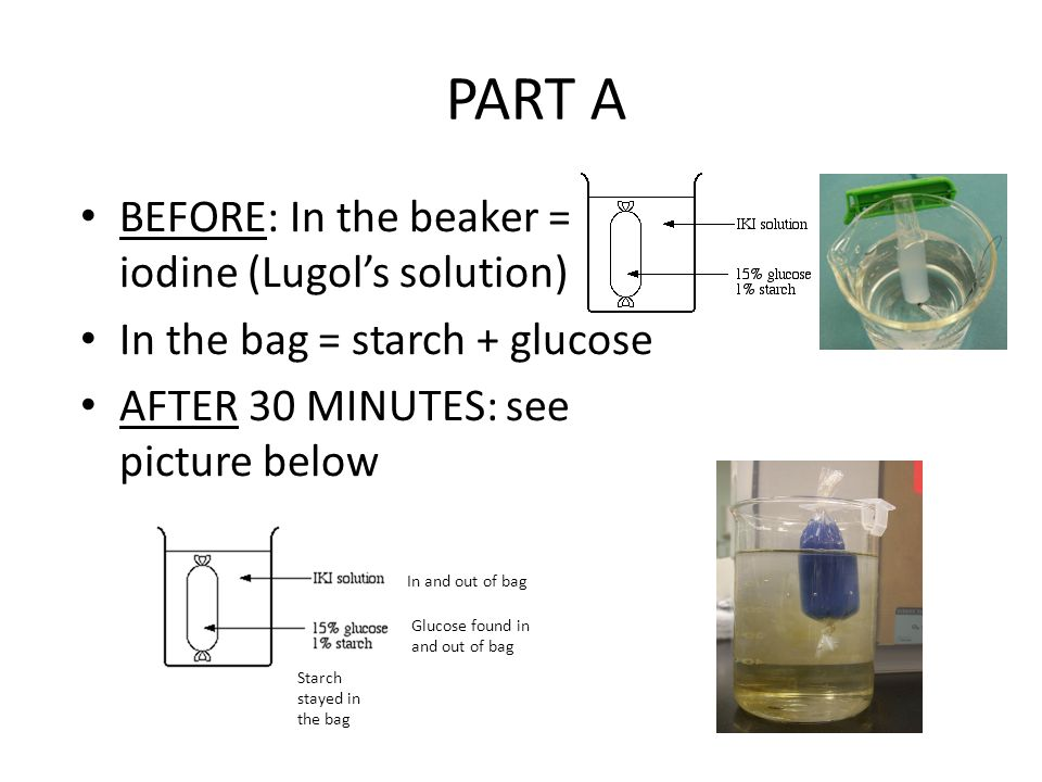 PART A BEFORE: In the beaker = iodine (Lugol's solution) In the bag = starch + glucose AFTER 30 MINUTES: see picture below In and out of bag Glucose f
