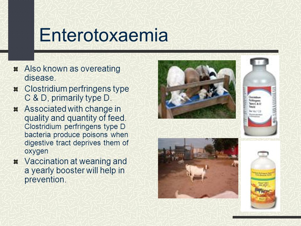 Enterotoxemia Symptoms: loss of appetite, depressed, high temperature, and watery diarrhea; as enterotoxemia progresses, the goat is unable to stand & will lie on its side making paddling motions.