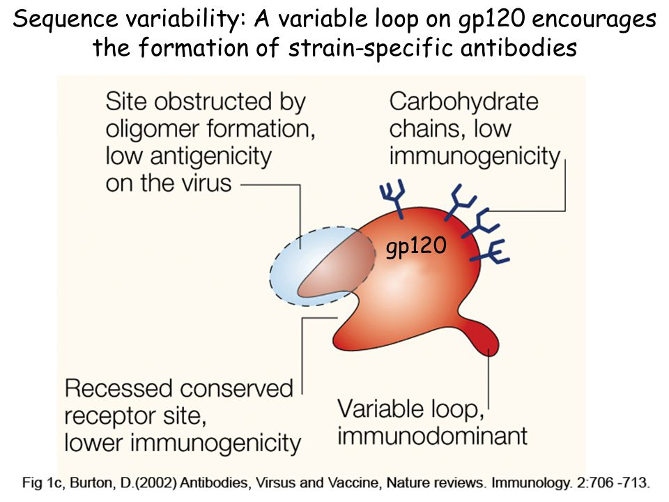 gp120 Sequence variability: A variable loop on gp120 encourages the formation of strain-specific antibodies