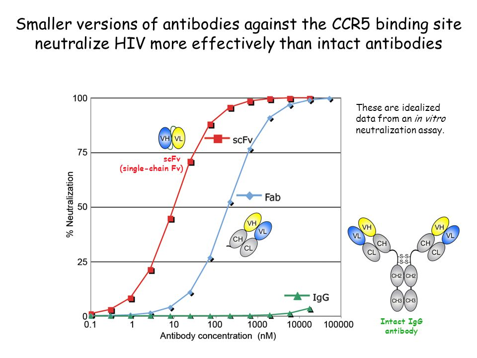 scFv (single-chain Fv) Intact IgG antibody Smaller versions of antibodies against the CCR5 binding site neutralize HIV more effectively than intact an