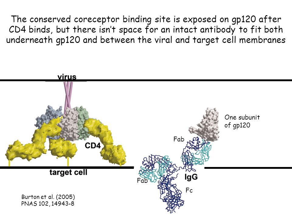 The conserved coreceptor binding site is exposed on gp120 after CD4 binds, but there isn't space for an intact antibody to fit both underneath gp120 and between the viral and target cell membranes Burton et al.