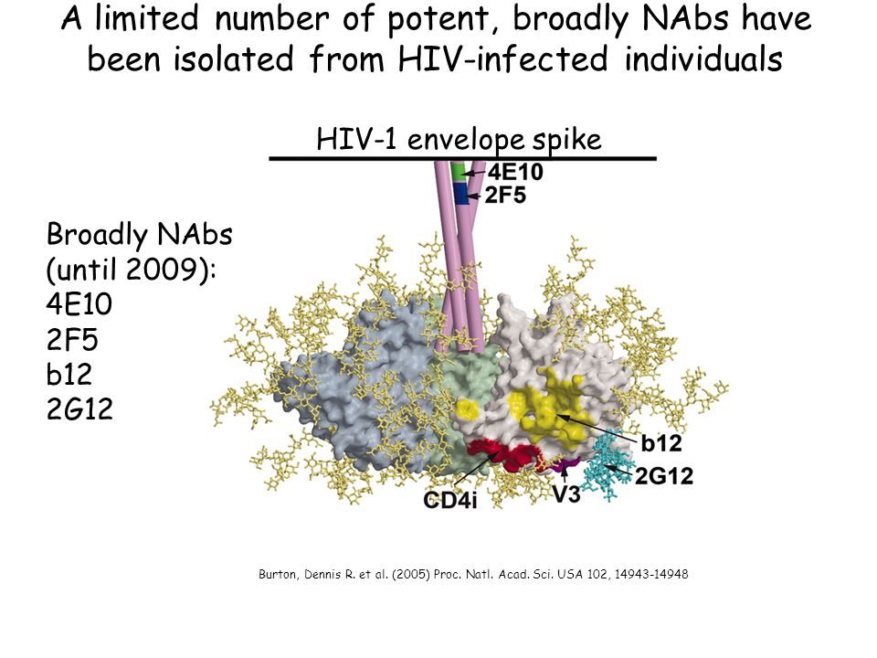 A limited number of potent, broadly NAbs have been isolated from HIV-infected individuals Burton, Dennis R.