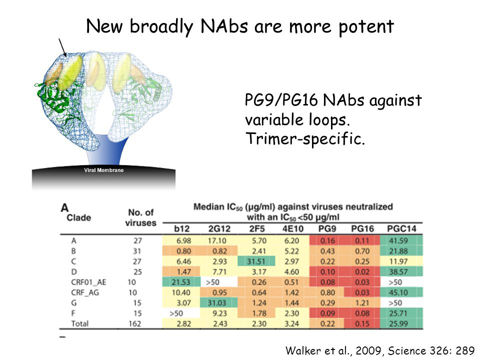 New broadly NAbs are more potent Walker et al., 2009, Science 326: 289 PG9/PG16 NAbs against variable loops. Trimer-specific.