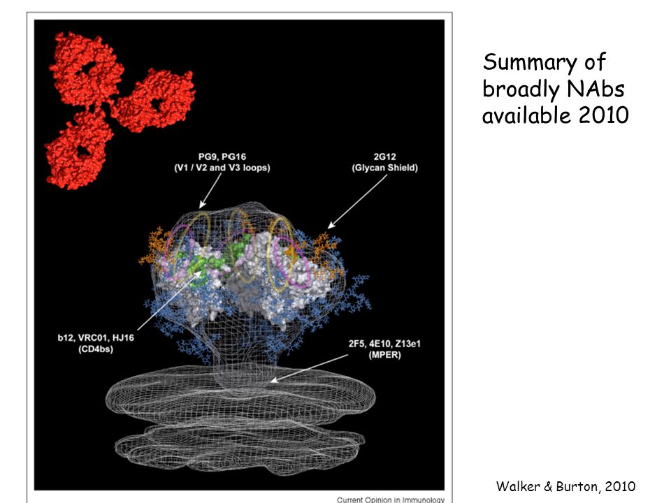 Summary of broadly NAbs available 2010 Walker & Burton, 2010
