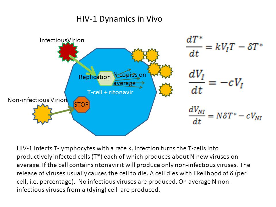 T-cell + ritonavir InfectiousVirion Non-infectious Virion Replication N copies on average STOP HIV-1 Dynamics in Vivo HIV-1 infects T-lymphocytes with a rate k, infection turns the T-cells into productively infected cells (T*) each of which produces about N new viruses on average.