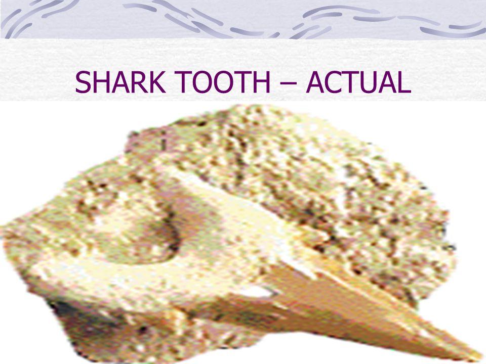SHARK TOOTH – ACTUAL