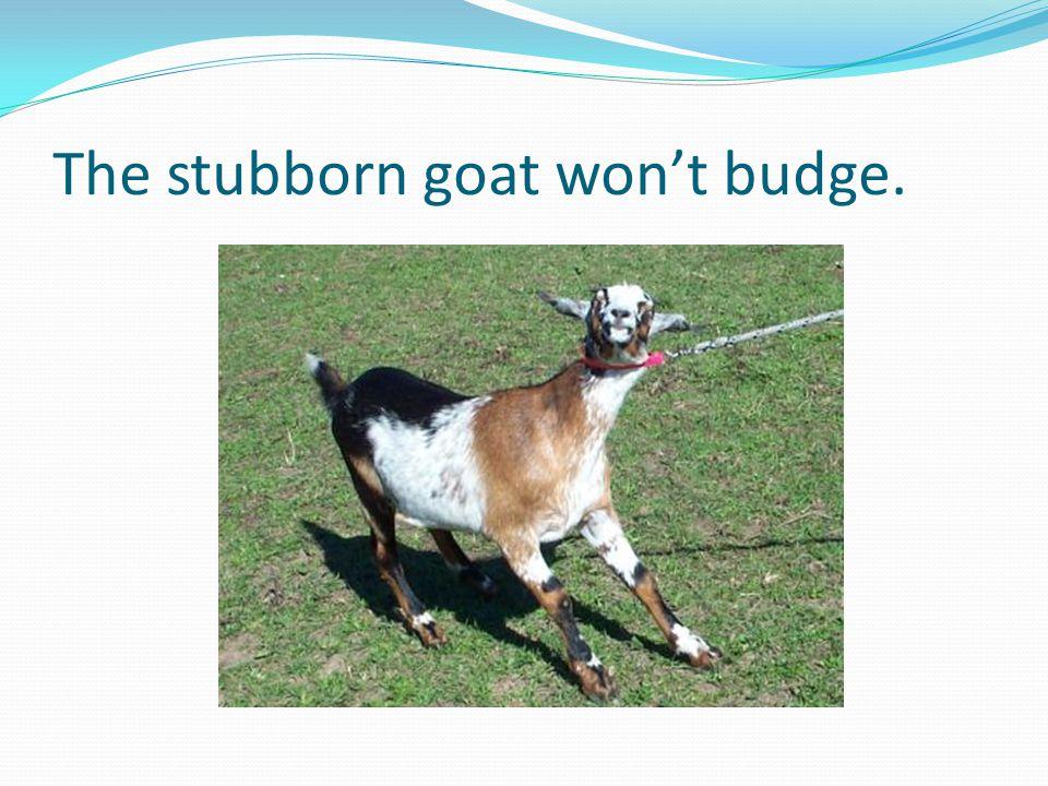 The stubborn goat won't budge.
