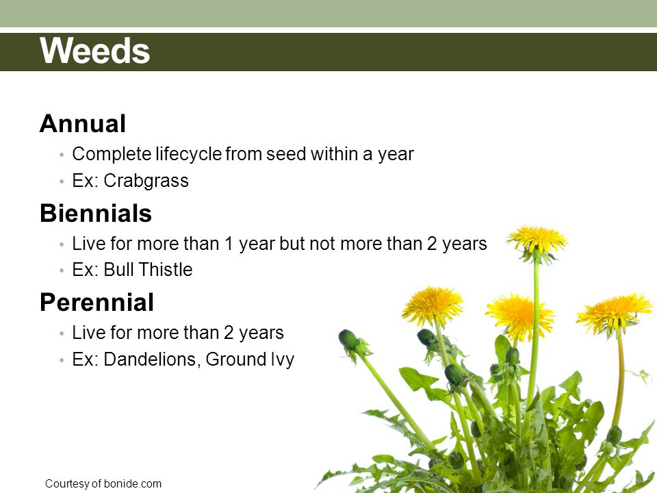 Weeds Courtesy of bonide.com Annual Complete lifecycle from seed within a year Ex: Crabgrass Biennials Live for more than 1 year but not more than 2 years Ex: Bull Thistle Perennial Live for more than 2 years Ex: Dandelions, Ground Ivy