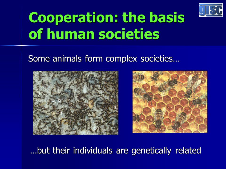 Cooperation: the basis of human societies Some animals form complex societies… …but their individuals are genetically related
