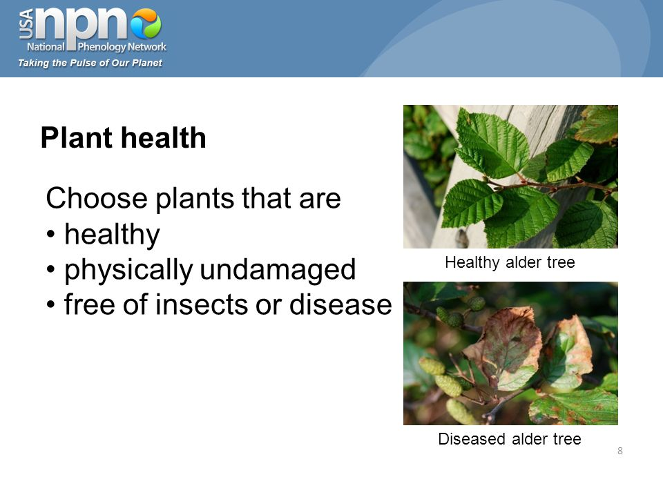 Plant health Choose plants that are healthy physically undamaged free of insects or disease 8 Healthy alder tree Diseased alder tree