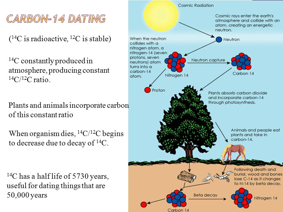 14 C constantly produced in atmosphere, producing constant 14 C/ 12 C ratio.