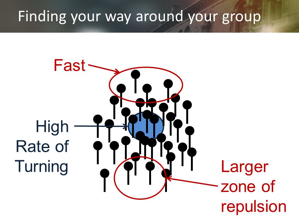 Finding your way around your group Fast Larger zone of repulsion High Rate of Turning
