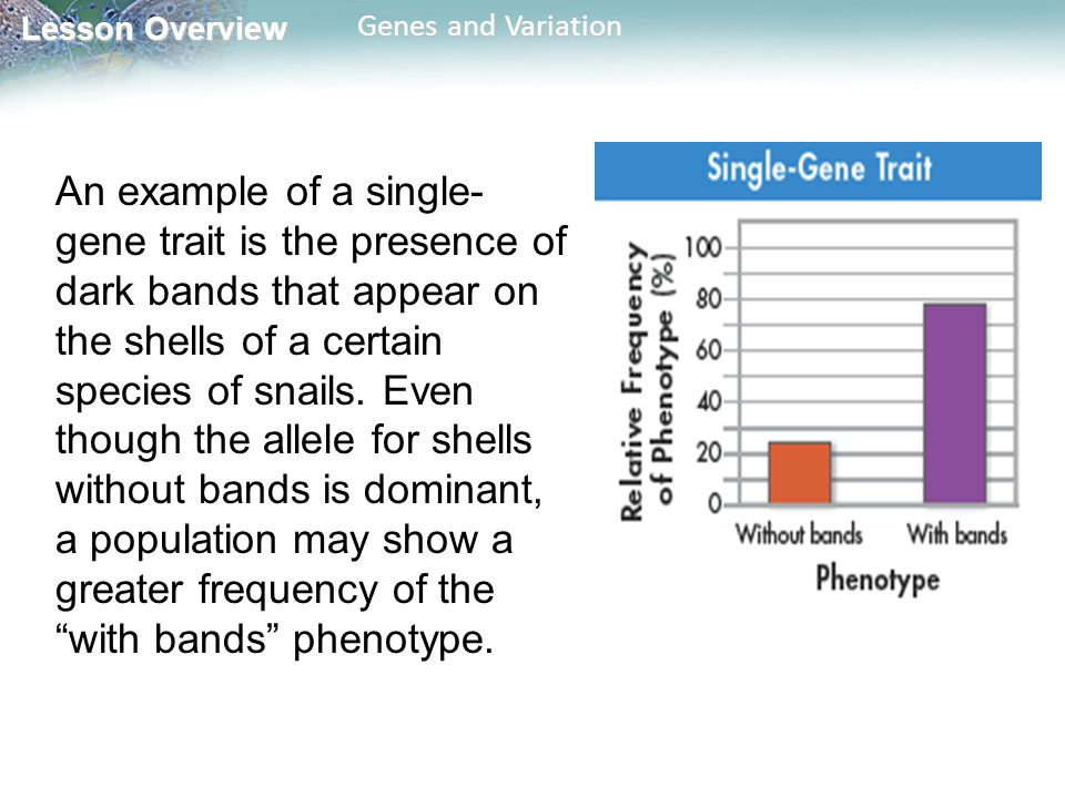 Lesson Overview Lesson Overview Genes and Variation An example of a single- gene trait is the presence of dark bands that appear on the shells of a certain species of snails.