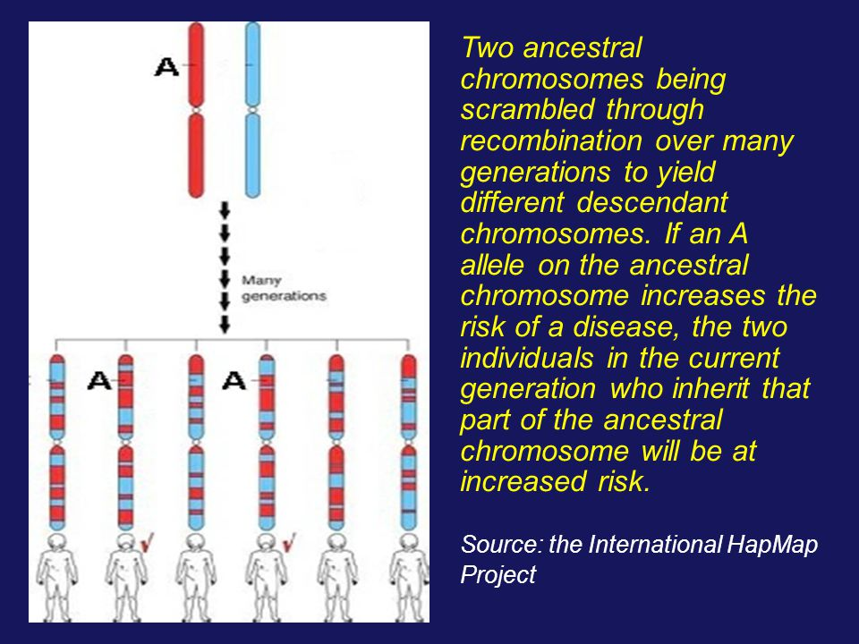 Two ancestral chromosomes being scrambled through recombination over many generations to yield different descendant chromosomes. If an A allele on the