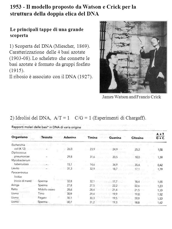 1953 - Il modello proposto da Watson e Crick per la struttura della doppia elica del DNA 1) Scoperta del DNA (Miescher, 1869).