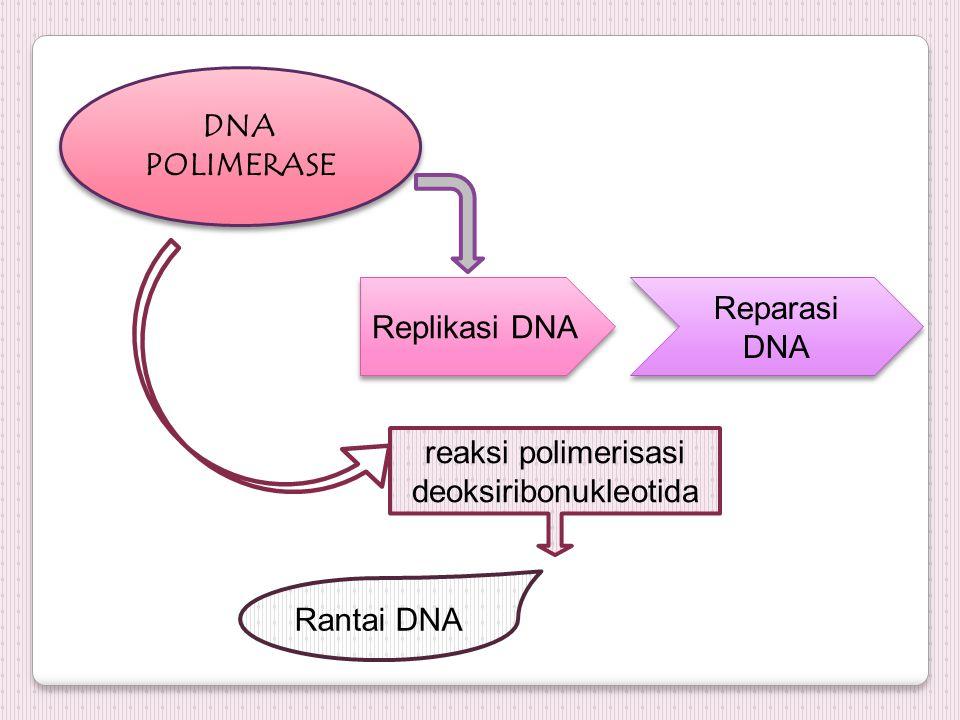 DNA POLIMERASE Replikasi DNA Reparasi DNA reaksi polimerisasi deoksiribonukleotida Rantai DNA