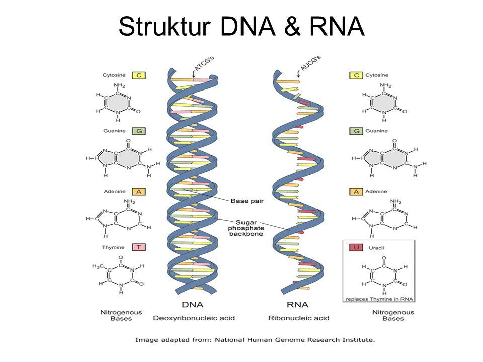 Struktur DNA & RNA