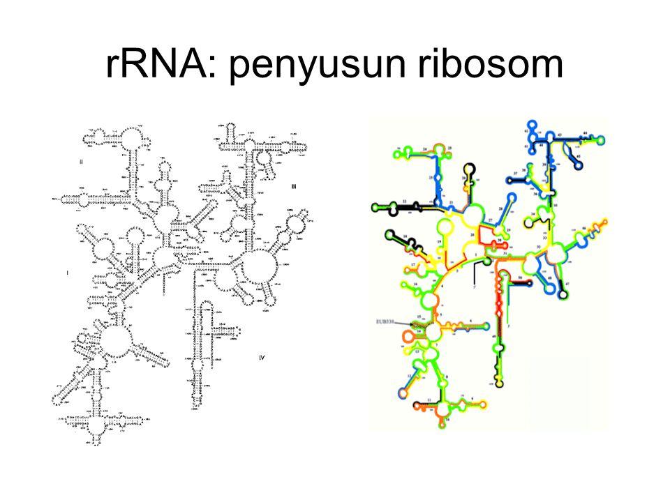 rRNA: penyusun ribosom