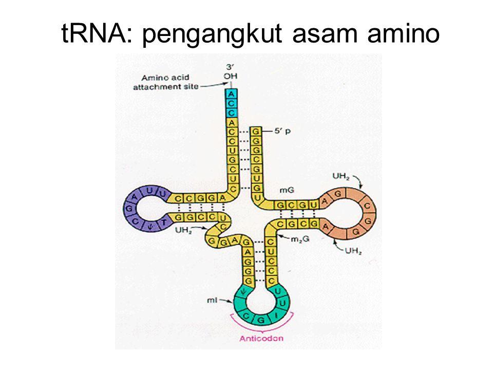tRNA: pengangkut asam amino