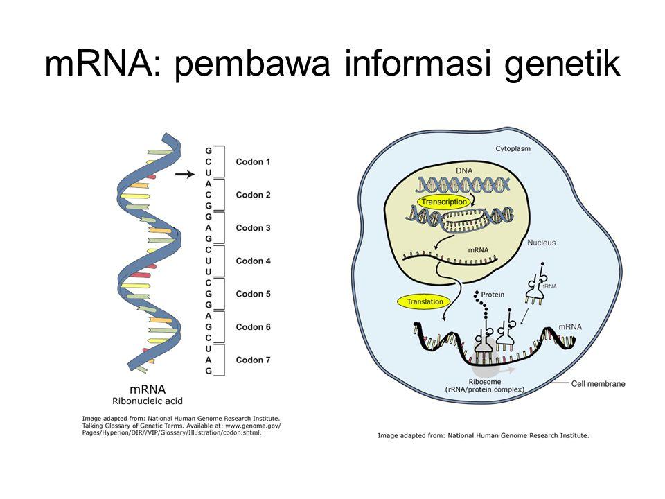 mRNA: pembawa informasi genetik
