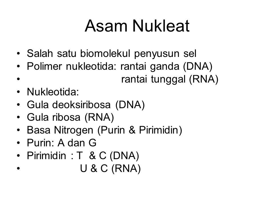 Asam Nukleat Salah satu biomolekul penyusun sel Polimer nukleotida: rantai ganda (DNA) rantai tunggal (RNA) Nukleotida: Gula deoksiribosa (DNA) Gula ribosa (RNA) Basa Nitrogen (Purin & Pirimidin) Purin: A dan G Pirimidin : T & C (DNA) U & C (RNA)