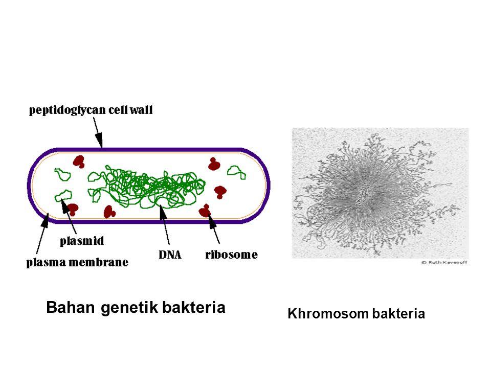 Bahan genetik bakteria Khromosom bakteria
