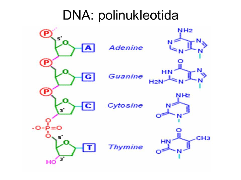 DNA: polinukleotida