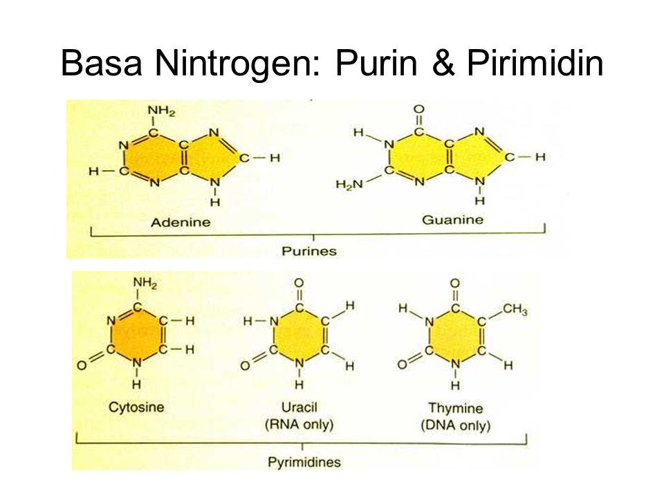Basa Nintrogen: Purin & Pirimidin