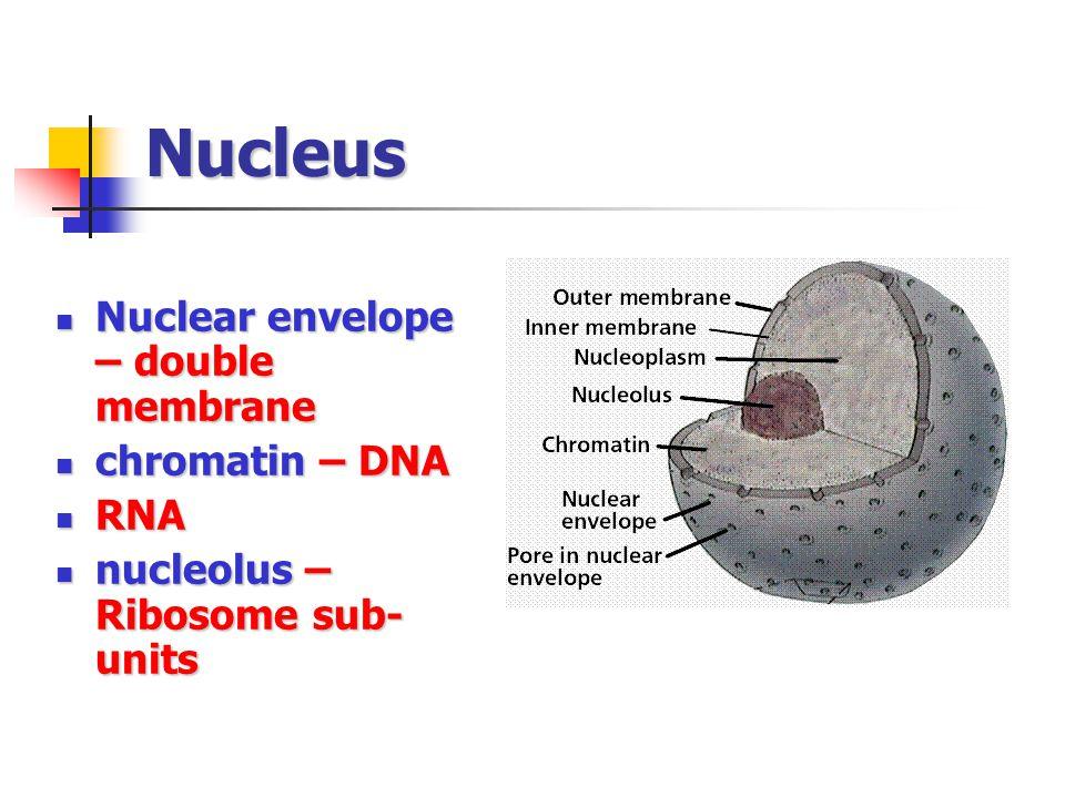 Nucleus Nuclear envelope – double membrane Nuclear envelope – double membrane chromatin – DNA chromatin – DNA RNA RNA nucleolus – Ribosome sub- units nucleolus – Ribosome sub- units