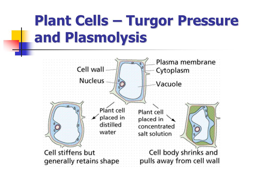 Plant Cells – Turgor Pressure and Plasmolysis