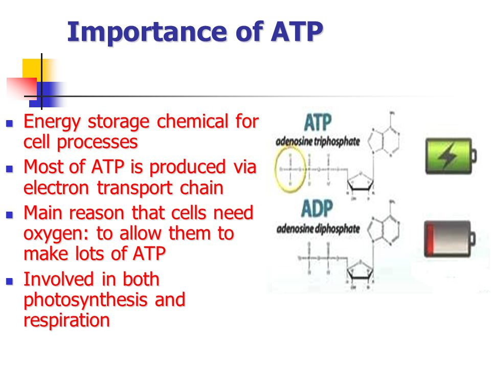 Importance of ATP Energy storage chemical for cell processes Energy storage chemical for cell processes Most of ATP is produced via electron transport chain Most of ATP is produced via electron transport chain Main reason that cells need oxygen: to allow them to make lots of ATP Main reason that cells need oxygen: to allow them to make lots of ATP Involved in both photosynthesis and respiration Involved in both photosynthesis and respiration