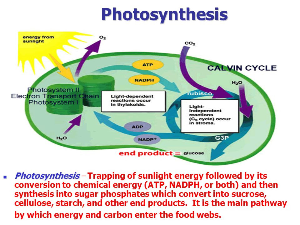 Photosynthesis Photosynthesis Photosynthesis – Trapping of sunlight energy followed by its conversion to chemical energy (ATP, NADPH, or both) and then synthesis into sugar phosphates which convert into sucrose, cellulose, starch, and other end products.