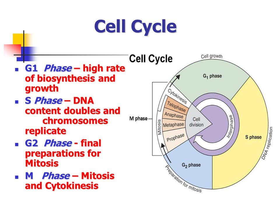 Cell Cycle G1 Phase – high rate of biosynthesis and growth G1 Phase – high rate of biosynthesis and growth S Phase – DNA content doubles and chromosomes replicate S Phase – DNA content doubles and chromosomes replicate G2 Phase - final preparations for Mitosis G2 Phase - final preparations for Mitosis M Phase – Mitosis and Cytokinesis M Phase – Mitosis and Cytokinesis