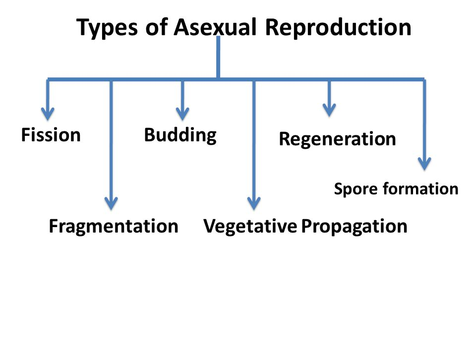 Types of Asexual Reproduction Fission Fragmentation Regeneration Budding Vegetative Propagation Spore formation