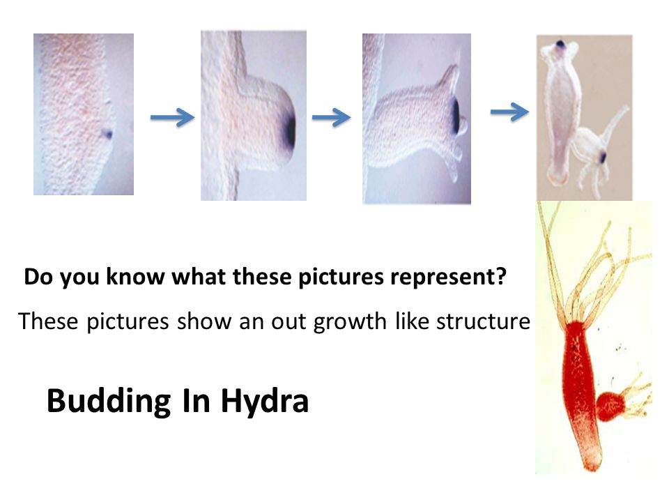 Do you know what these pictures represent? These pictures show an out growth like structure Budding In Hydra