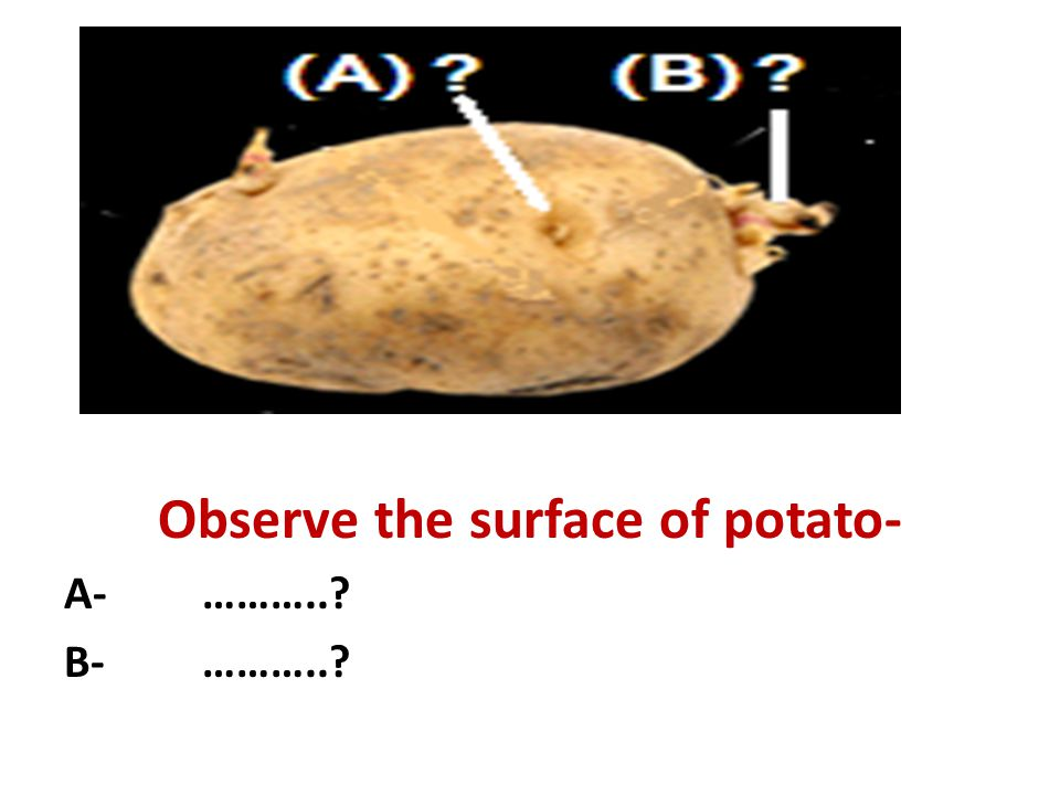 Observe the surface of potato- A- ………..? B- ………..?
