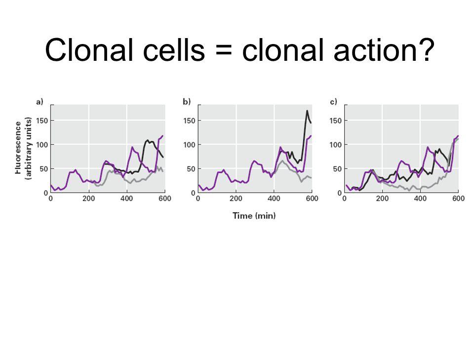 Clonal cells = clonal action