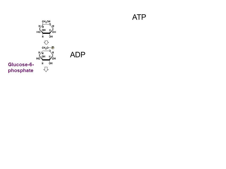 ATP ADP Glucose-6- phosphate
