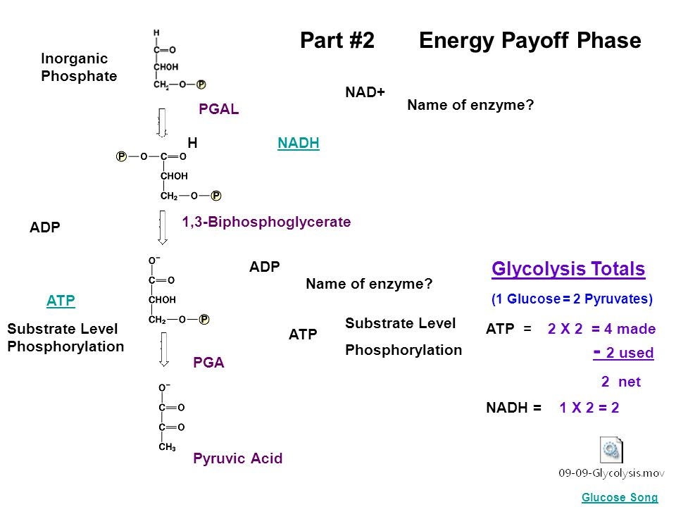 PGAL Inorganic Phosphate Part #2 Energy Payoff Phase H NAD+ NADH Name of enzyme? ADP ATP ADP ATP Substrate Level Phosphorylation Substrate Level Phosp