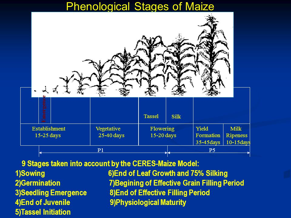 Phenological Stages of Maize Establishment 15-25 days Emergence Vegetative 25-40 days Flowering 15-20 days Yield Formation 35-45days Milk Ripeness 10-15days Tassel Silk Tassel P1P5 9 Stages taken into account by the CERES-Maize Model: 1)Sowing 6)End of Leaf Growth and 75% Silking 2)Germination 7)Begining of Effective Grain Filling Period 3)Seedling Emergence 8)End of Effective Filling Period 4)End of Juvenile 9)Physiological Maturity 5)Tassel Initiation