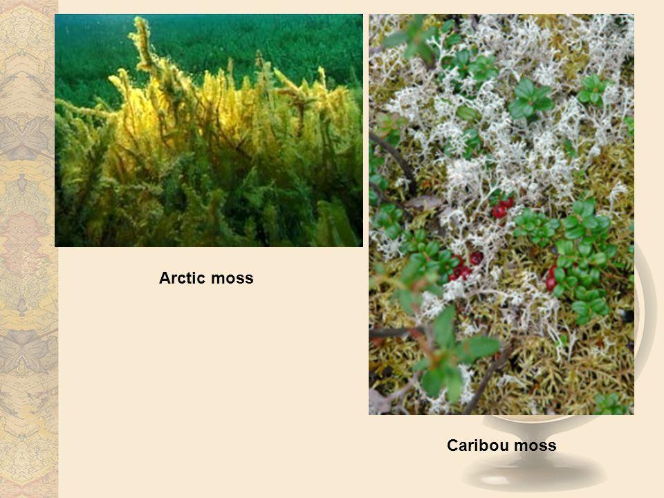 Arctic moss Caribou moss