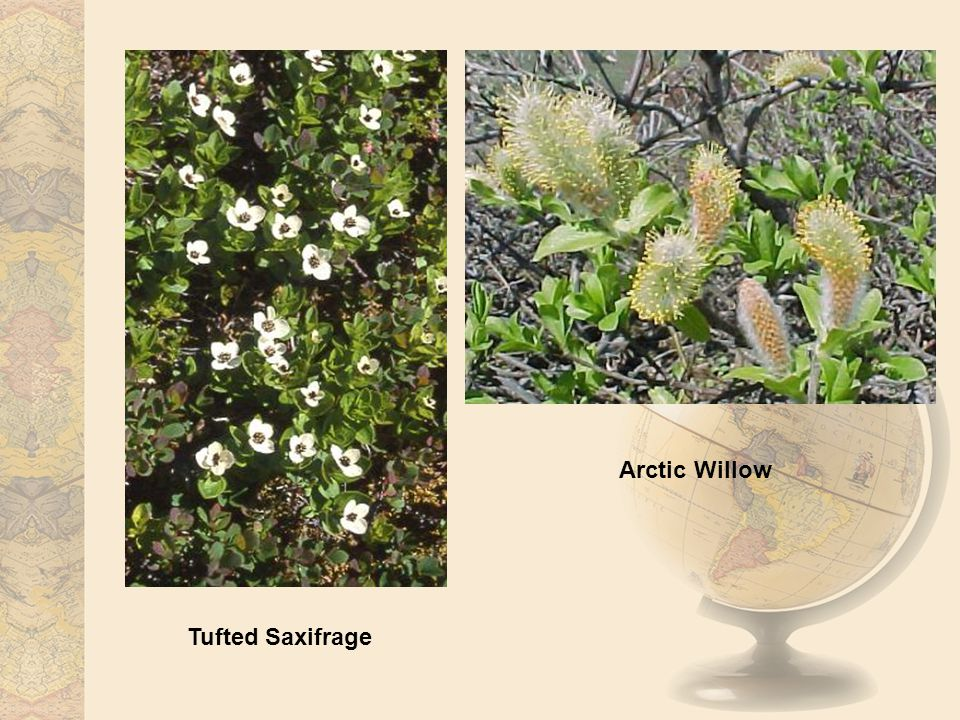 Tufted Saxifrage Arctic Willow