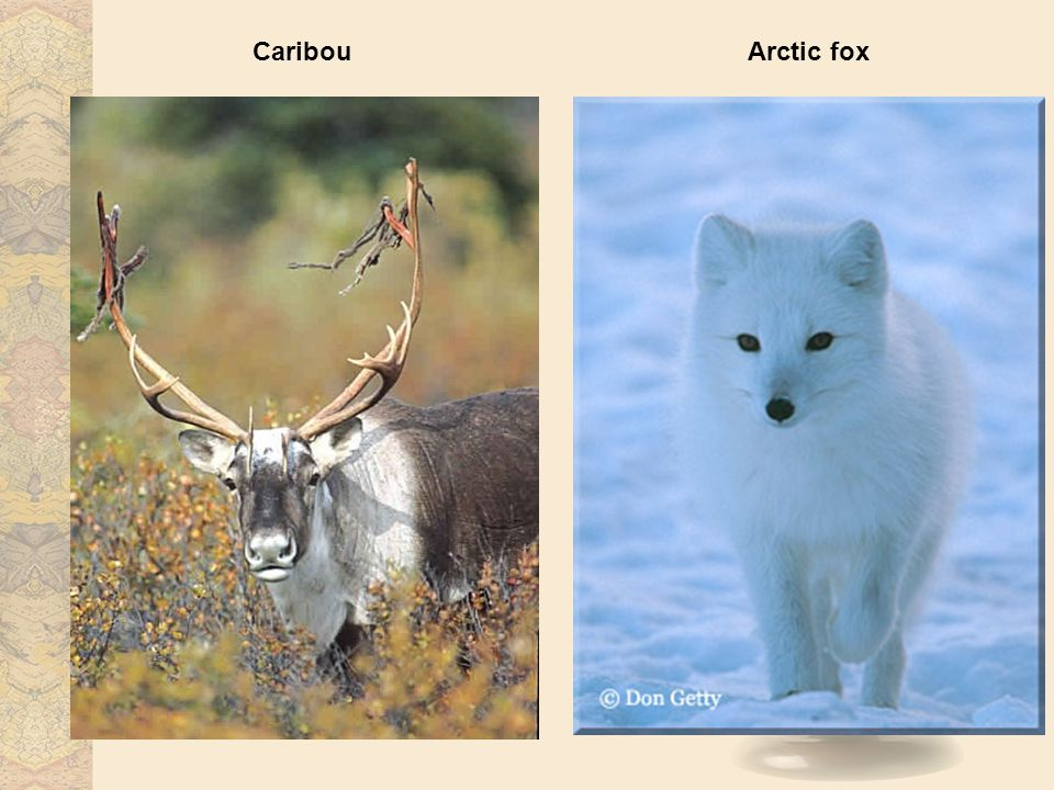CaribouArctic fox