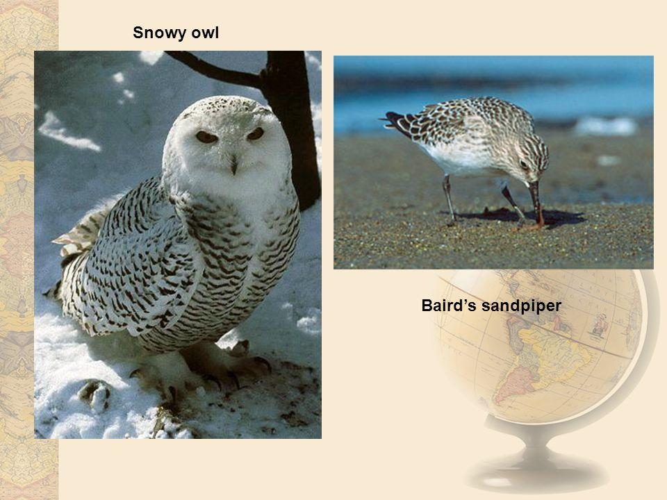Snowy owl Baird's sandpiper