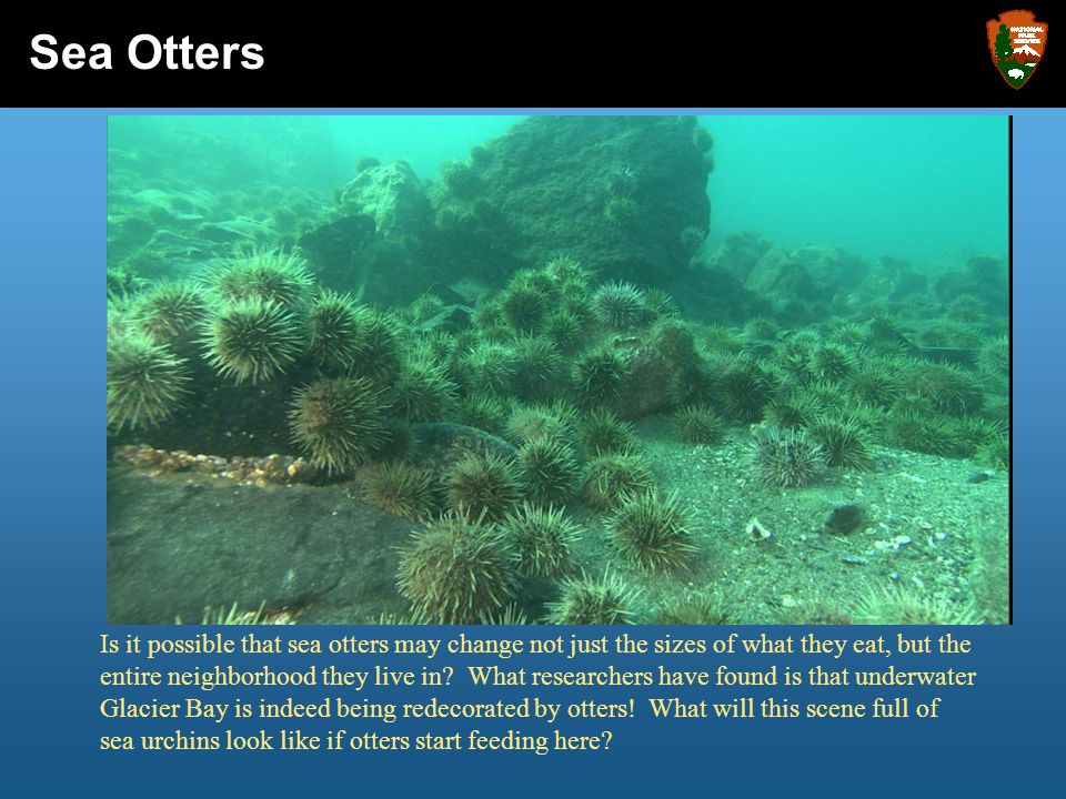 Is it possible that sea otters may change not just the sizes of what they eat, but the entire neighborhood they live in? What researchers have found i